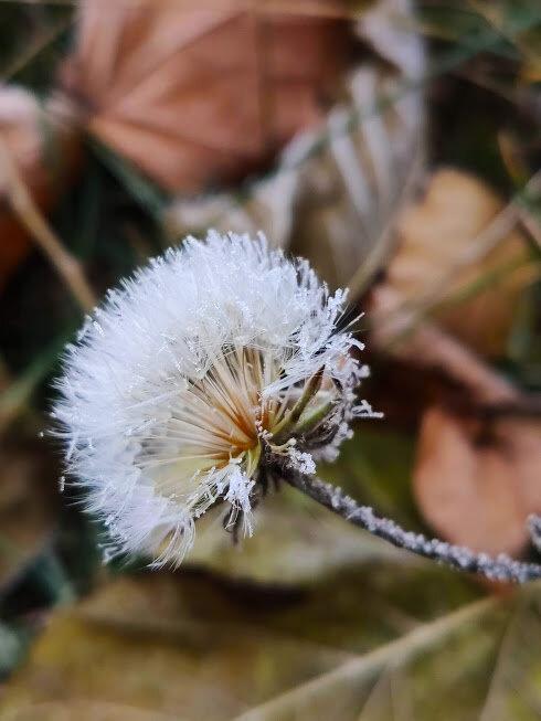 Зимний одуванчик - Катарина