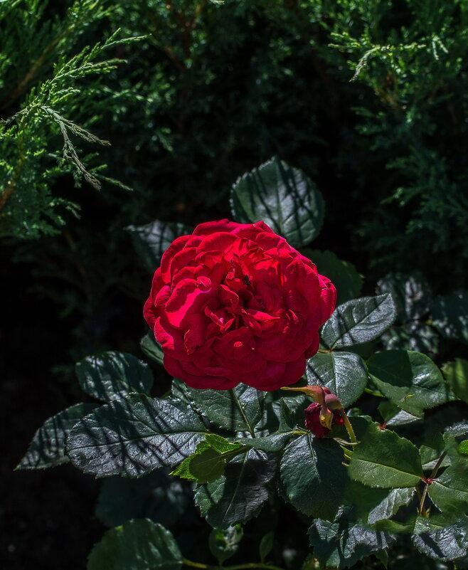 Роза - gribushko грибушко Николай