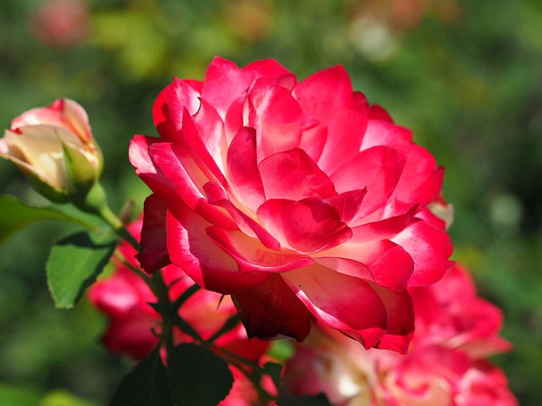 "Роза ""Jubile du Prince de Monaco"" - Alm Lana"