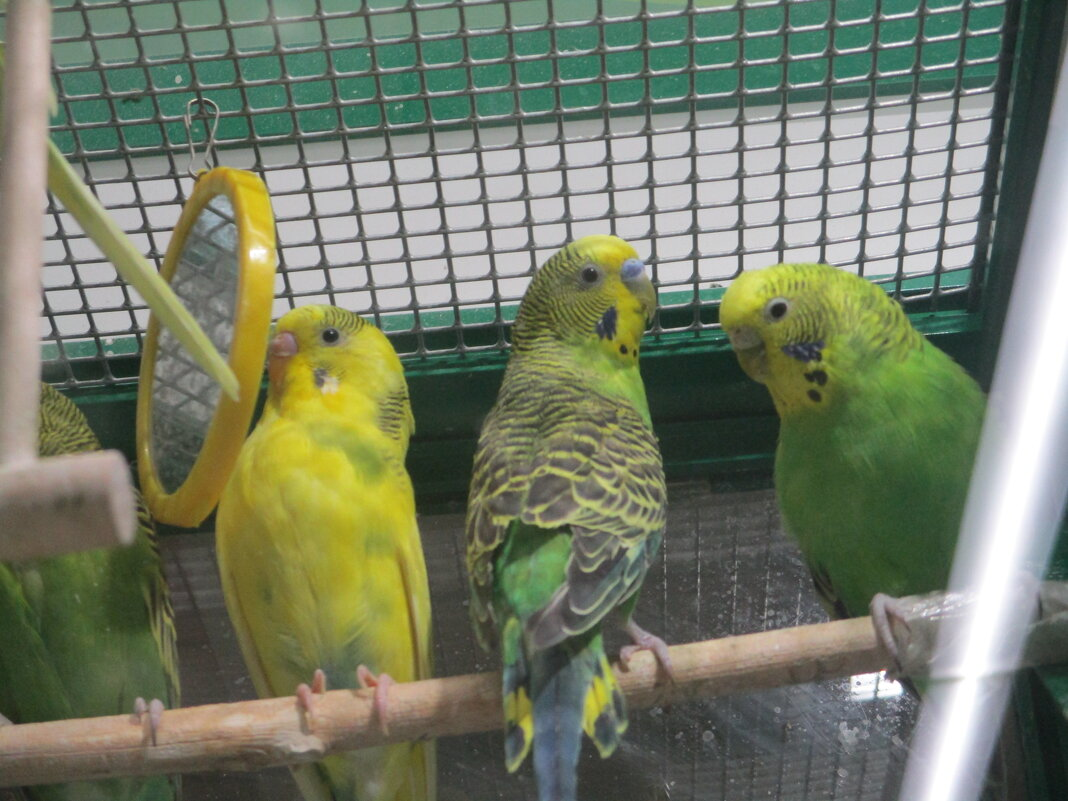 Волнистые попугайчики. - Зинаида