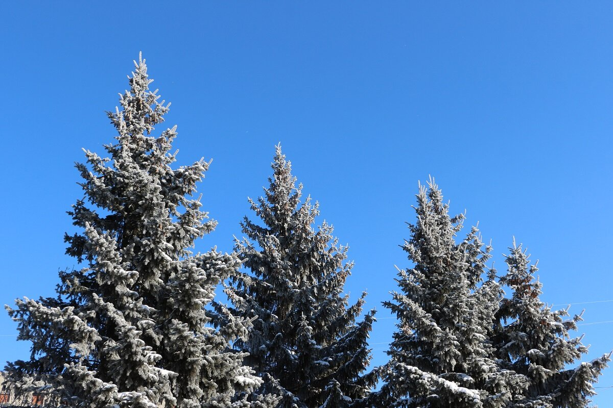 Голубые ели в морозный солнечный день - Надежд@ Шавенкова