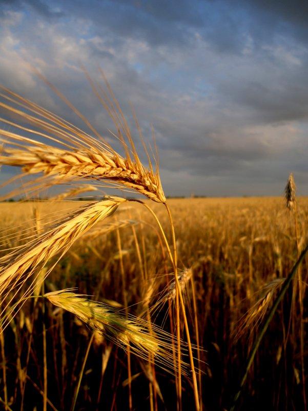 пшеница - Алина Гриб