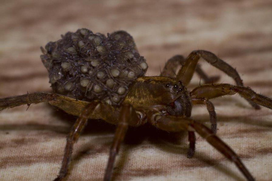 К чему беременным снятся пауки 41