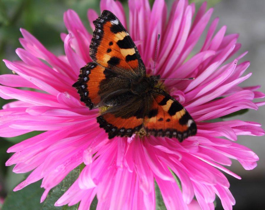 Бабочка - Анастасия Гапанюк (начинающий фотограф)
