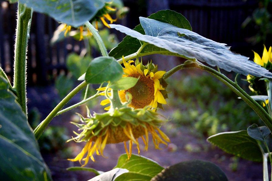 цветок солнца)) - Юлия Трухнина