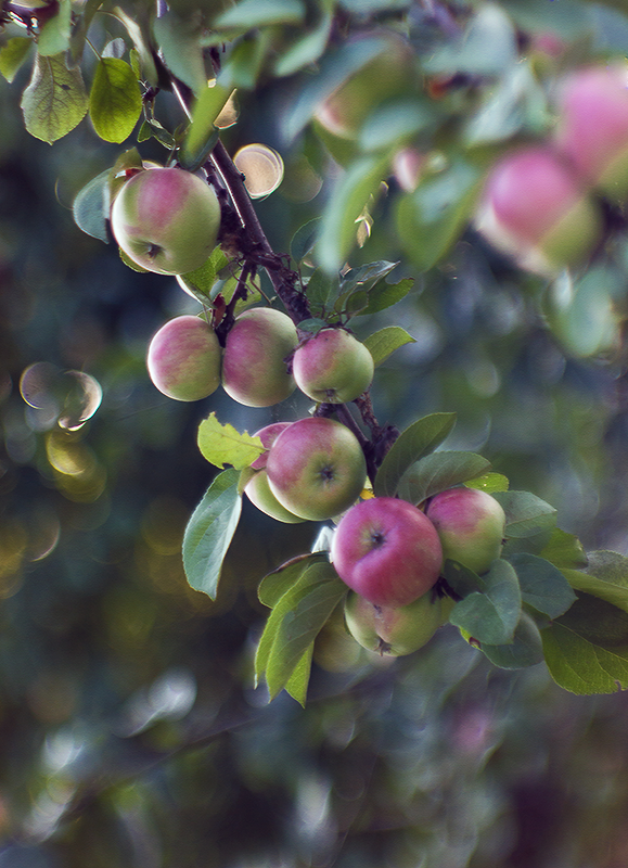 Яблоня юпитер описание фото