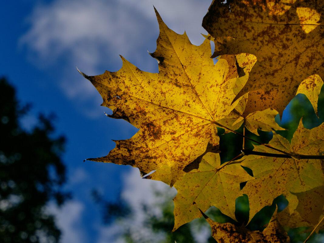 Осенний лист кленовый... - Михаил *******