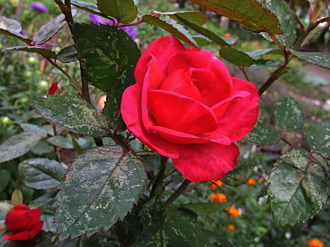 Роза – символ совершенства - Ольга Довженко
