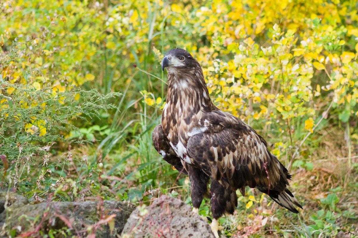 Орлан-белохвост - Тая Лемур