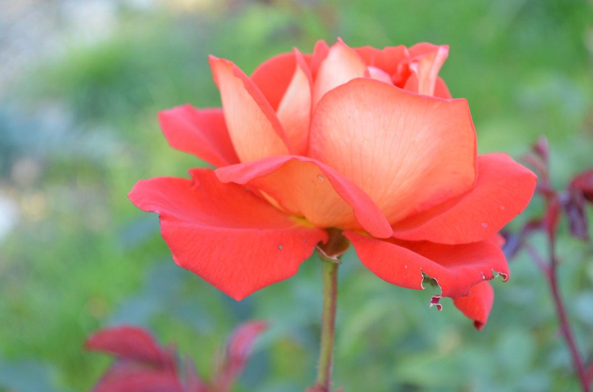Осенняя роза последней любви... - Владимир Павлов