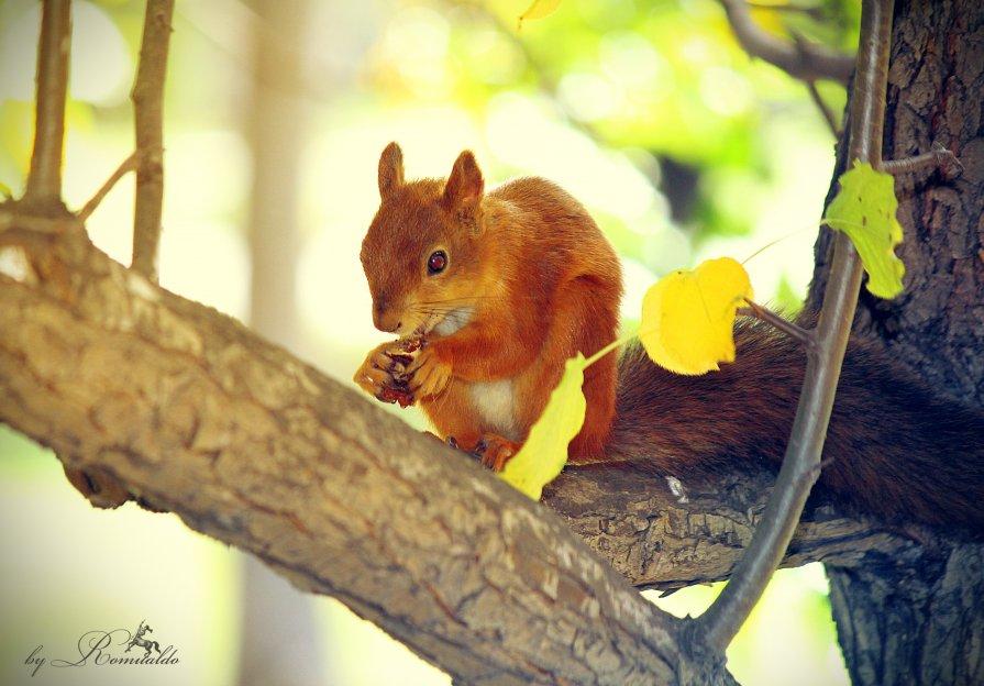 Белка песенки поет, да орешки все грызет... - Рустам Ромуальдо