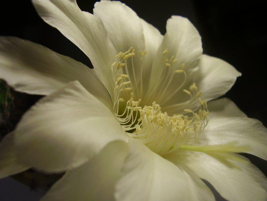 Цветок кактуса. - Дмитрий Петров