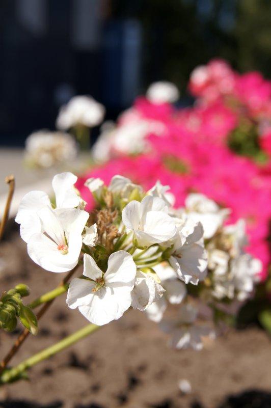 цветы цвета - Эни Цветкова