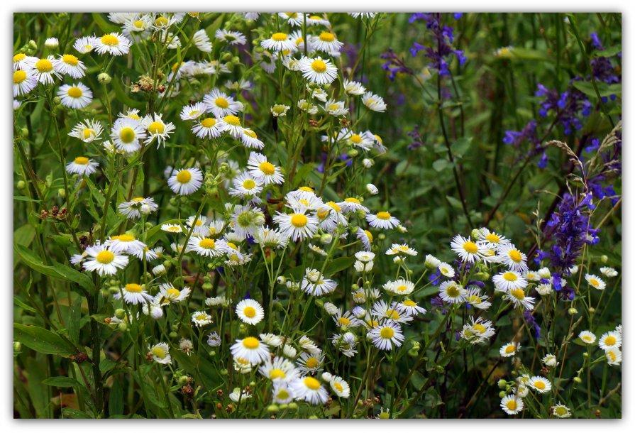 Альпийские цветы - Александр Гапоненко
