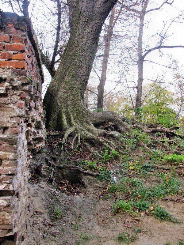 Старое дерево - Игорь Мукалов