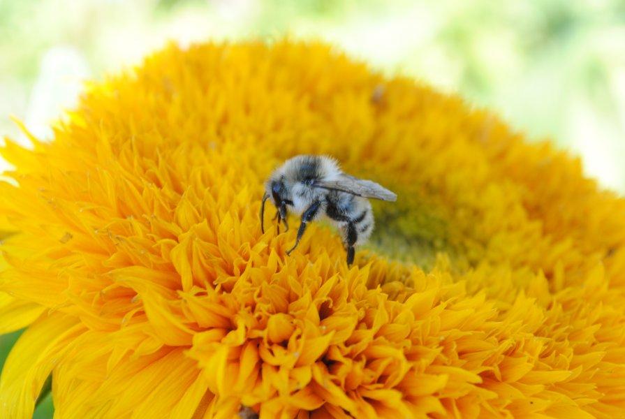 пчелка мая вся в работе ))) - Снежанна Снежка