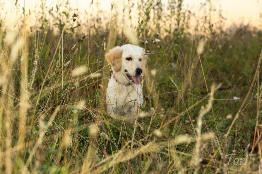 Голден ретривер (щенок 4 месяца) - Екатерина Тележенко