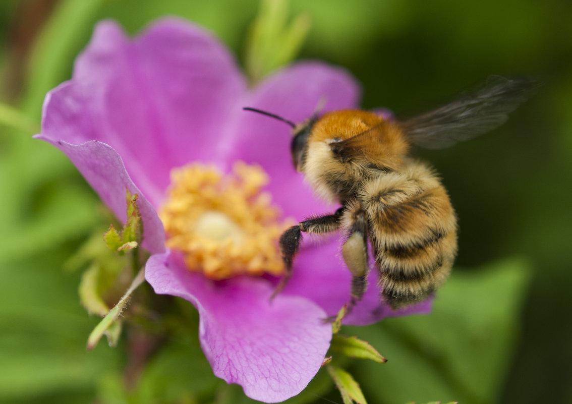 234Фото пчела цветок