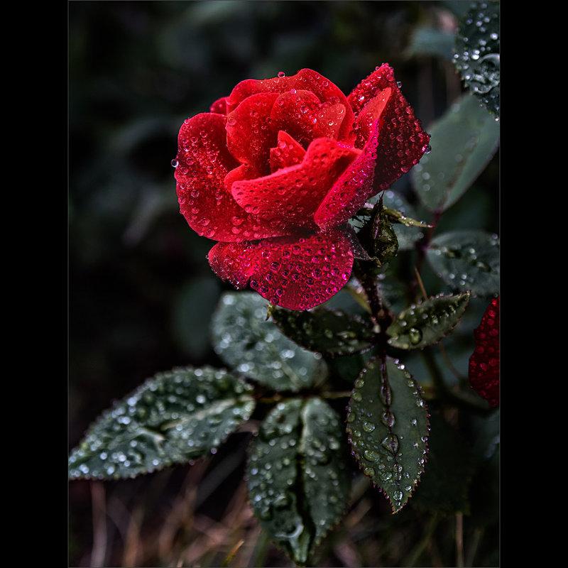 Роза - Nn semonov_nn