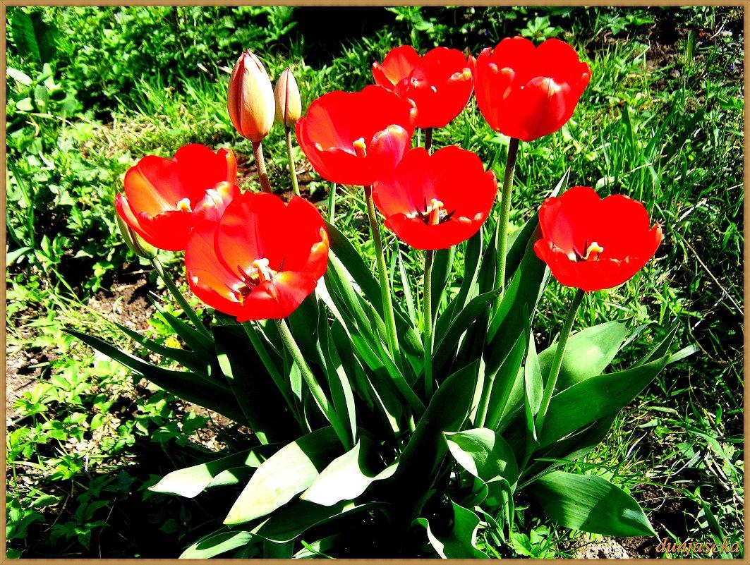 Тюльпаны в моём саду. - Антонина Гугаева