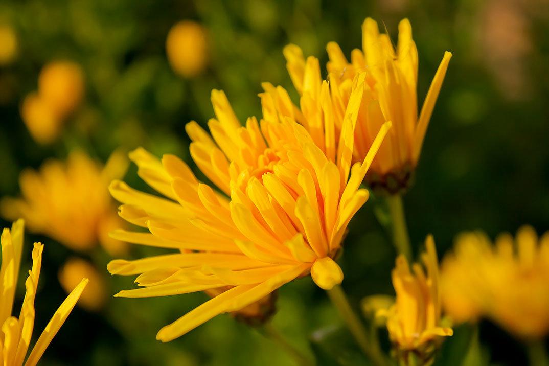 Желтая игольчатая хризантема - Ирина Рассветная