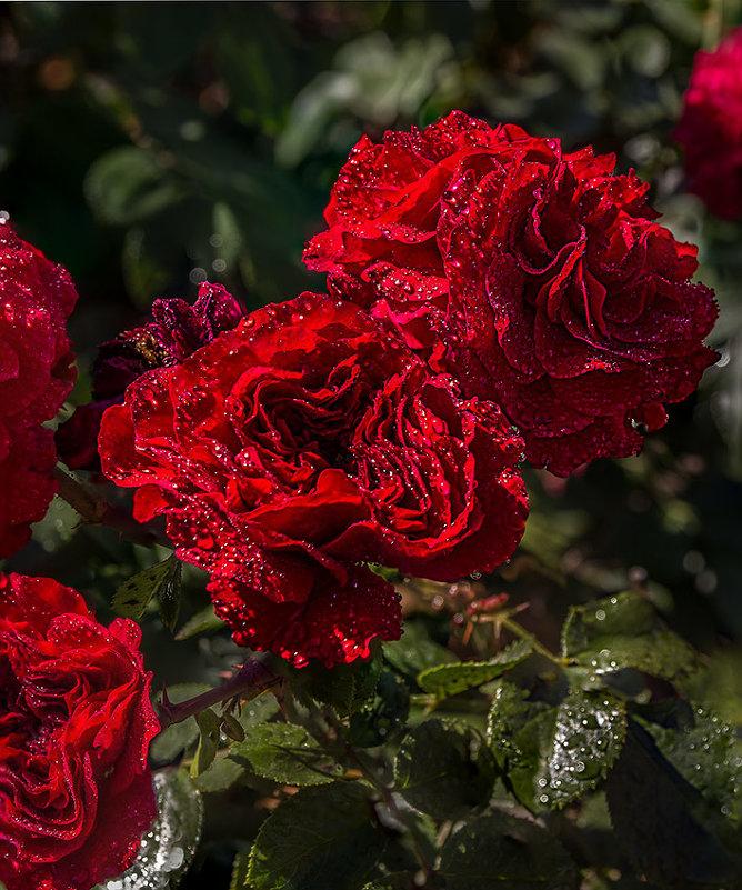Розы - Nn semonov_nn