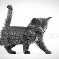 Котенок Норвежской лесной кошки :: Анастасия Высоцкая