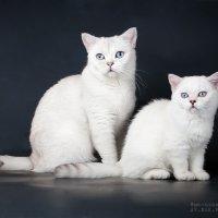 Британские кошки :: Анастасия Высоцкая