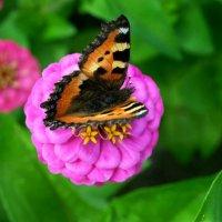 Бабочка :: Алёна Суслова