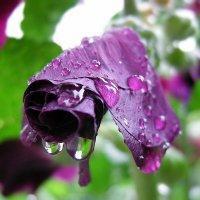 После дождя :: Алёна Суслова