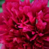 Цветы! :: Анюта Баландина