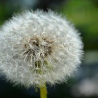 Последний глоток жизни одуванчика! :: Анюта Баландина