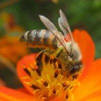 Пчела :: Олеся Фокина