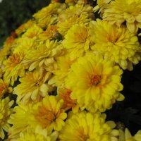 хризантемы :: Олеся Фокина
