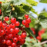 Сочная ягода :: Светлана Васильева