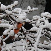 Хурма после мороза :) :: Екатерина Тонких