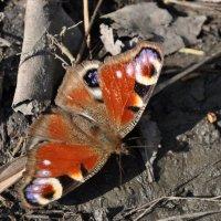 Бабочка :: Марина Черникова