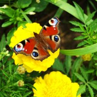 Бабочка :: Александр Белов