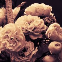 белые розы :: Инна Зелинская