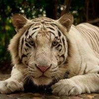 Взгляд тигра :: Семён Семеняков