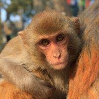 серия животный мир Непала :: Алексей Греков