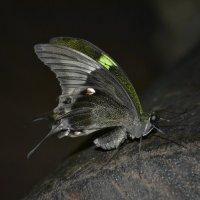 A butterfly :: Дмитрий Литвинчук