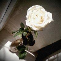 Белая роза :: Кристина Кеннетт
