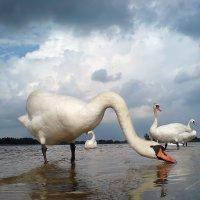 Лебединое озеро :: Александр Титов