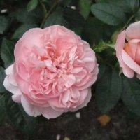 Роза :: Елена Ларионова