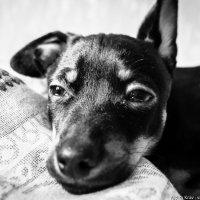 Собака :: Вадим Крав