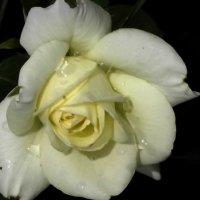 Плачущая роза :: Василий Ворохта