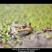 лягушка :: Alex Yordan
