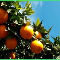 Апельсиновое дерево :: Helga Olginha