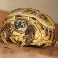 Домашний питомец - черепах... :: Alexandr Hotey